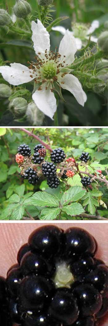 Blackberry, Bramble
