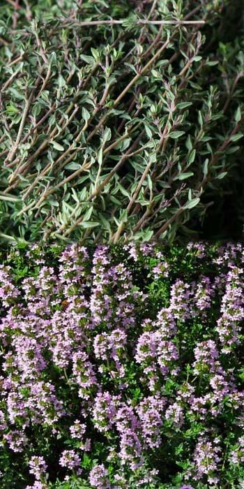 thyme stalks, thyme in flower